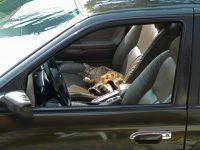 Votre animal en voiture : comment amener son chat en vacances ?