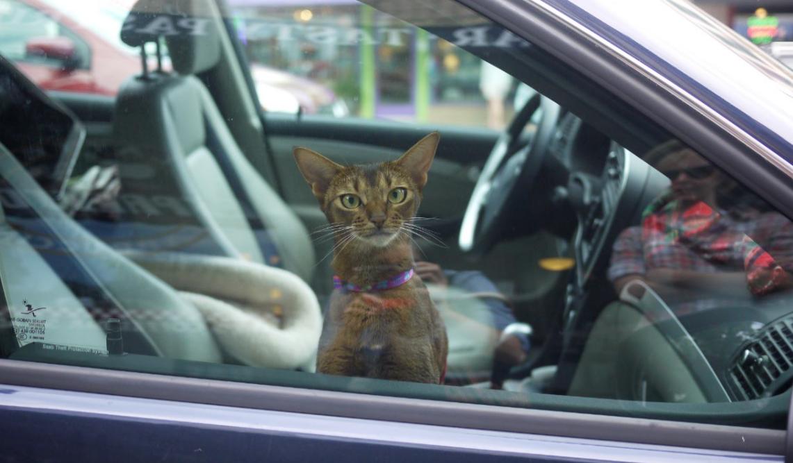 chat dans voiture