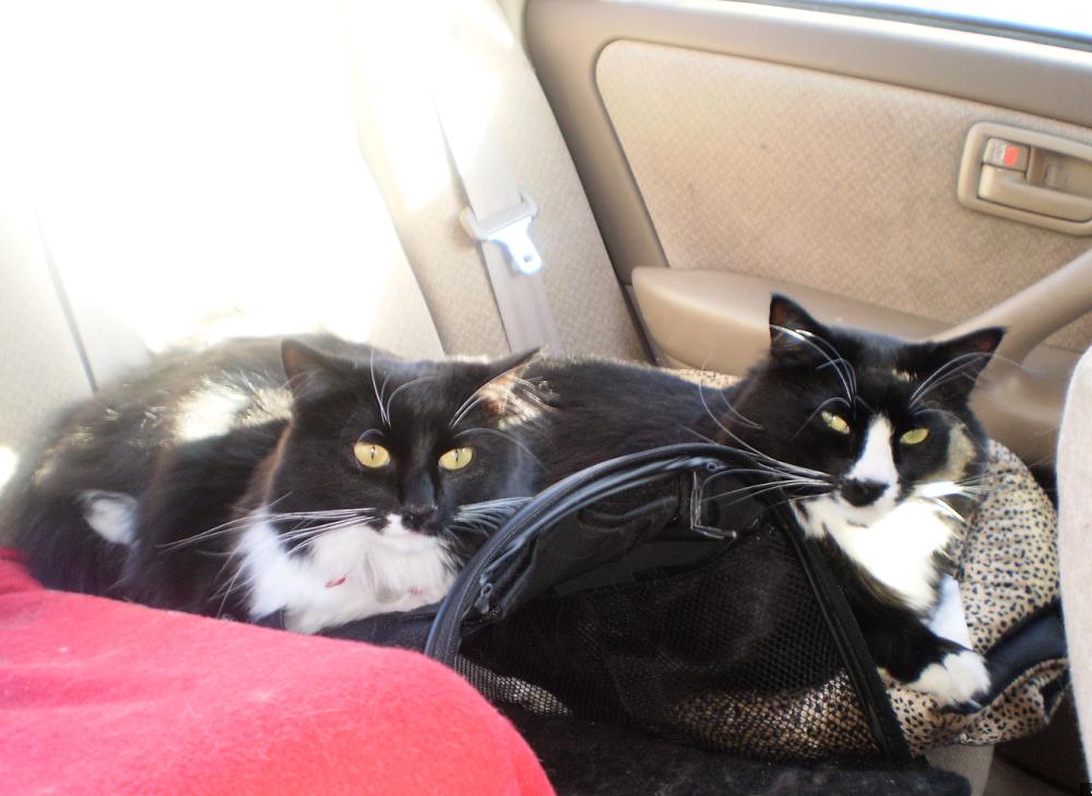 chat sur banquette arriere voiture